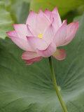Lotus flower  China