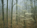 Flowering Dogwood in foggy forest  Appalachian Trail  Shenandoah National Park  Virginia  USA