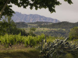 Vineyards and Cactus with Montserrat Mountain  Catalunya  Spain