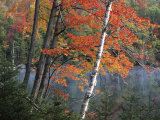 Paper Birch and Red Maple along Heart Lake  Adirondack Park and Preserve  New York  USA