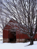 Barn and maple after snowfall  Fairfax County  Virginia  USA
