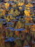 American Lotus in Autumn  Lake of the Ozarks  Missouri  USA