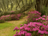 Pink Azaleas and Live Oaks  Magnolia Plantation  Charleston  South Carolina  USA