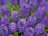 Purple hyacinth flowers  Keukenhof Gardens  Lisse  Netherlands  Holland