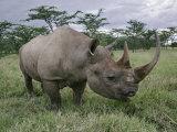 Black Rhinoceros  Kenya