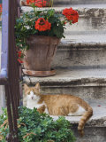 Cat On Steps in Alley  Rovigno  Croatia