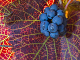 Pinot Noir Leaves in Knudsen Vineyards  Willamette Valley  Oregon  USA