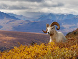 Dall Ram Resting On A Hillside  Mount Margaret  Denali National Park  Alaska  USA