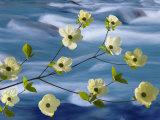 Pacific Dogwood Blossoms  Hood Canal  Washington  USA