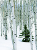 Fir in Aspen grove  Dixie National Forest  Utah  USA