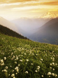 Meadow with helebore and sitka valerian on Green Mountain  Glacier Peak Wilderness  Washington  USA