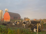 Holstein dairy cows outside a barn  Boyd  Wisconsin  USA