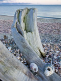 Driftwood on the shell-covered Long Beach in Stratford  Connecticut  USA
