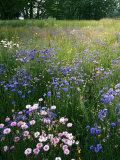 Cornflower Wildflower meadow  Norfolk Botanical Garden  Virginia  USA