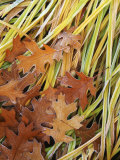Black Oak leaves and reeds with frost  Spokane County  Washington  USA