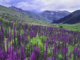 Wildflowers in Alpine Meadow  Ouray  San Juan Mountains  Rocky Mountains  Colorado  USA