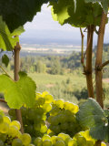 Chardonnay Grapes in the Knudsen Vineyard  Willamette Valley  Oregon  USA