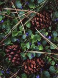 Ponderosa Pine cones and Blue Violets  Washington  USA