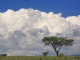 Umbrella Thorn Acacia  Lake Nakuru National Park  Kenya