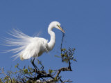 Great Egret  Alligator Farm Rookery  St Augustine  Florida