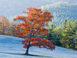 Lone Maple tree  Blowing Rock  North Carolina  USA