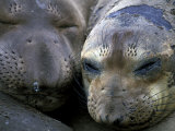 Northern Elephant Seals  Big Sur Coast  California  USA