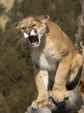 Mountain Lion Snarling Aggressively