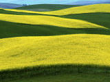 Canola Fields in bloom  Moscow  Idaho  USA