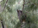 Long-Eared Owl  Anza-Borrego Desert State Park  California  USA