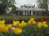Tulips in Garden of Monticello  Virginia  USA