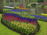 Tulips  Grape Hyacinth and Daffodils  Keukenhof Gardens  Lisse  Netherlands