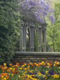 Wisteria and Tulips  Dumbarton Oaks  Georgetown  Washington DC  USA
