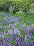 Lupine Meadow and Oregon white oaks  Columbia River Gorge National Scenic Area  Oregon  USA
