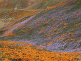 Owl's Clover and Globe Gilia  California Poppies  Tehachapi Mountains  California  USA