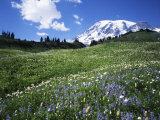 Paradise Meadows  Mt Rainier National Park  Washington  USA