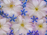 Montage of Cherry Blossoms and Blue Flowers
