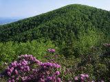 Blue Ridge Mountains Catawba Rhododendron  Blue Ridge Parkway  Virginia  USA