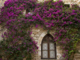 Bright Pink Bougainvillea  Eze  Provence  France