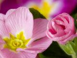 Detail of Primrose Blossoms