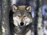 Wolf, Minnesota, USA Papier Photo par Gavriel Jecan