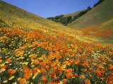 Goldfields and California Poppies  Tehachapi Mountains  California  USA