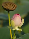 Lotus Blossom  Kenilworth Aquatic Gardens  Washington DC  USA