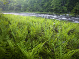 Ferns and the West Branch of the Westfield River  Chesterfield  Massachusetts  USA