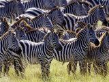 Large herd of Burchell's Zebras  Masai Mara Game Reserve  Kenya
