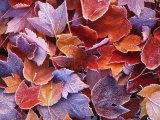 Frosted Maple leaves  Spokane County  Washington  USA