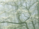 Flowering Dogwood in foggy forest  Shenandoah National Park  Virginia  USA