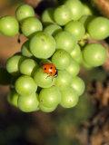 Lady Bug on Green Grapes  Beran Winery Vineyard  Willamette Valley  Oregon  USA