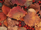 Spokane County Hawthorn leaves and berries  Washington  USA