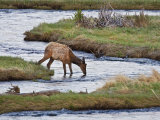 Elk Drinking in Stream  Rocky Mountain National Park  Colorado  USA