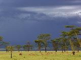 Herd of male Impala  Lake Nakuru  Lake Nakuru National Park  Kenya